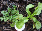 Cardamine hirsute: Cardamine hirsuta   Brassicaceae 04/04/20