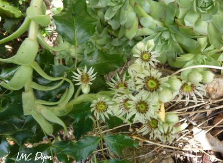 Les Crassulaceae