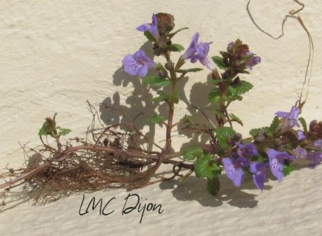 Lierre terrestre : Glemchoma hederaceae  Lamiaceae