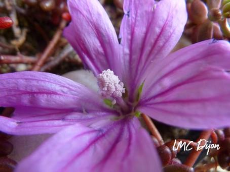 Mauve sauvage: Malva sylvestris  Malvaceae
