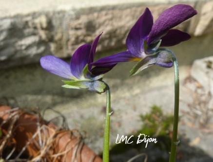 Pensée sauvage: Viola tricolor  Violaceae