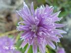 Ciboulette: Allium schoenoprasum  Amaryllidaceae