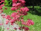Centranthe rouge : Centranthus ruber  Caprifoliaceae
