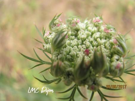 Carotte sauvage : Daucus carota  Apiaceae