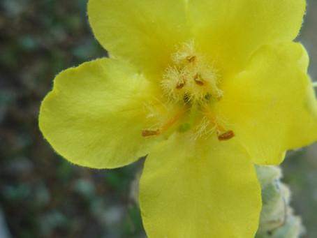 Bouillon blanc : Verbascum   Scrofulariaceae