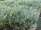 Ceraiste cotonneux : Cerastium tomentosum  Caryophyllaceae