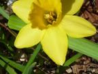 Jonquille : Narcissus jonquilla  Amaryllidaceae