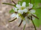 Alliaire: Alliaria Petiolata  Brassicaceae