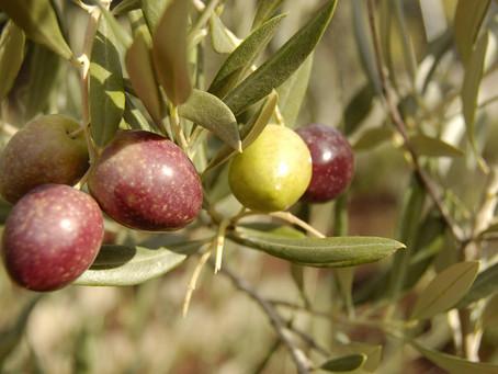 ¿Por qué escogimos aceitunas arbequina y picual en Familia Santías?