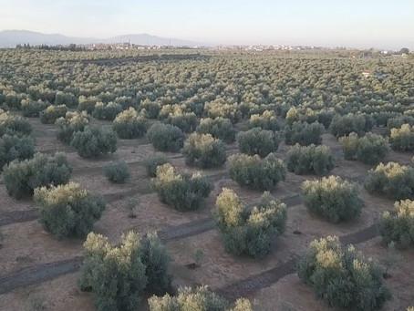 Ventajas de la tradición familiar en la producción del aceite