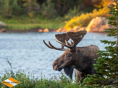Bull Moose at Brainard Lake