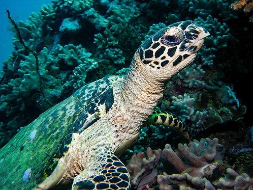 Fijian Turtle