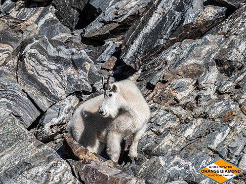 Mountain Goat on the Rocks