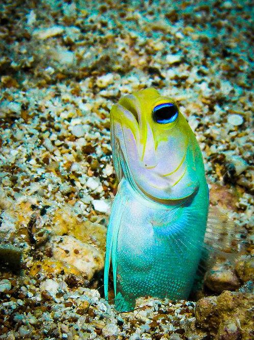 Yellow Headed Jawfish
