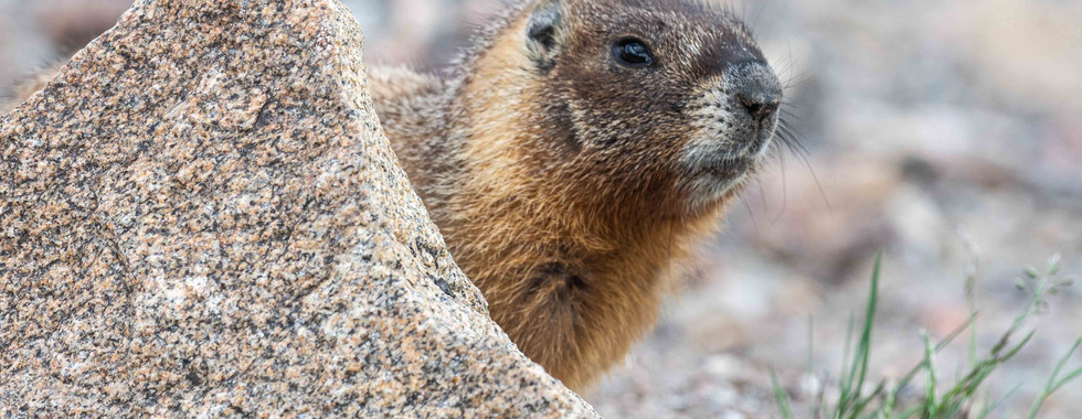 Marmot Behind a Rock