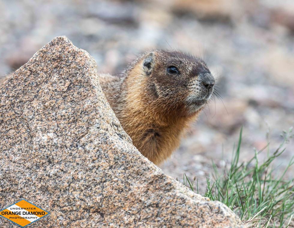 Marmot Behind a Rock