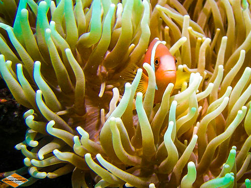 Anemone Fish with Host