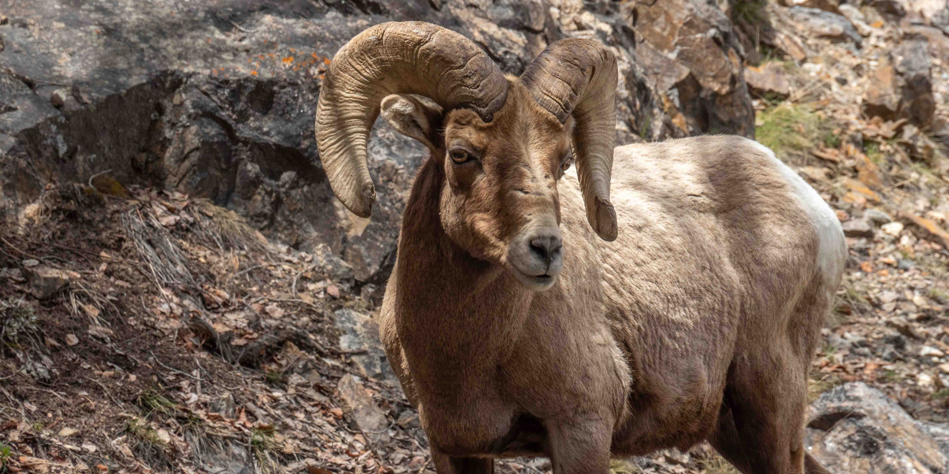 Bighorn Sheep near Guanella Pass