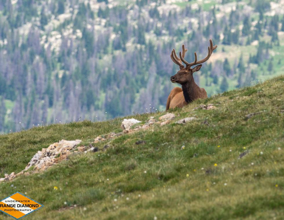 Bull Elk near Fall River Road