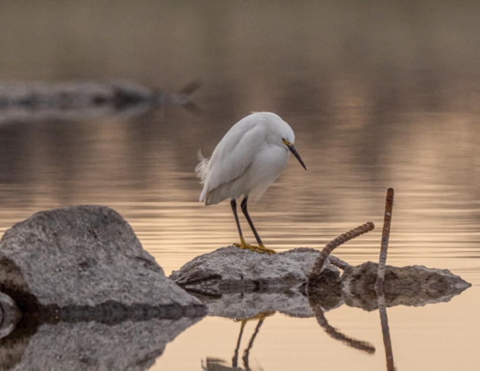 Snowy Egret Reflections