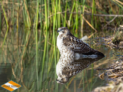 Red Tailed Hawk Reflection