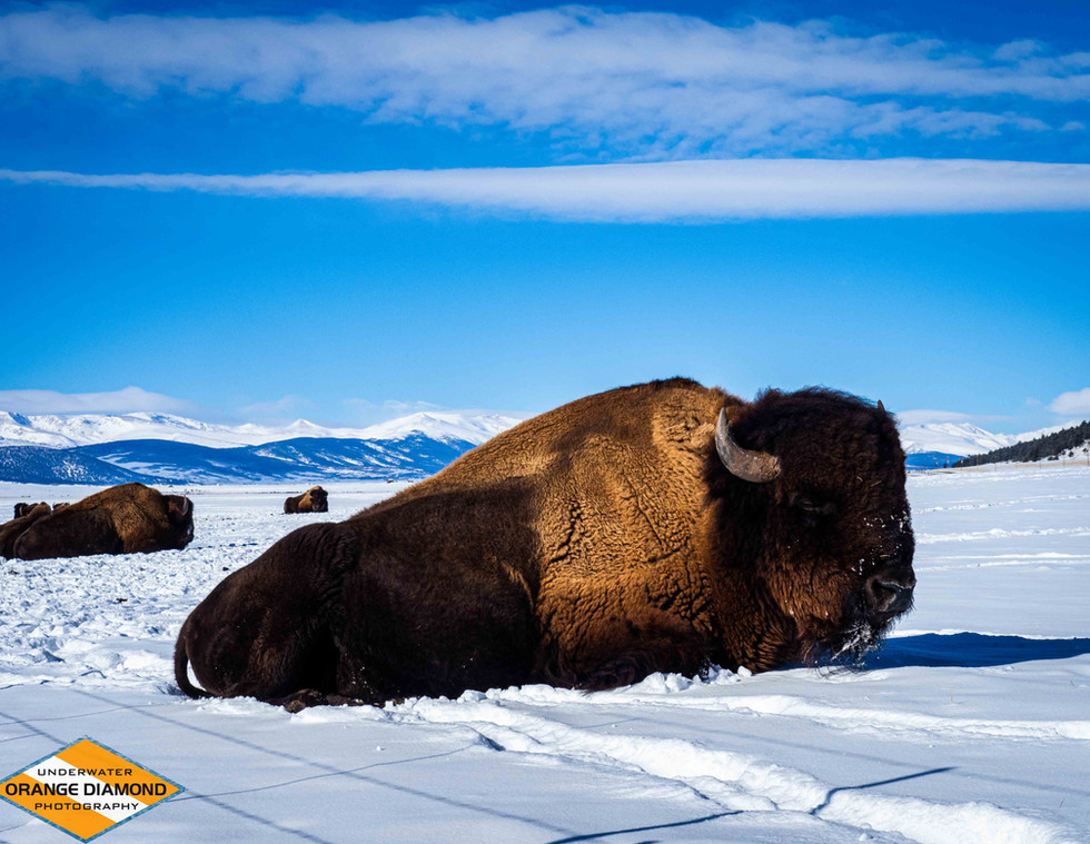 Bison in South Park