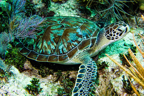 Green Sea Turtle on Molasses Reef