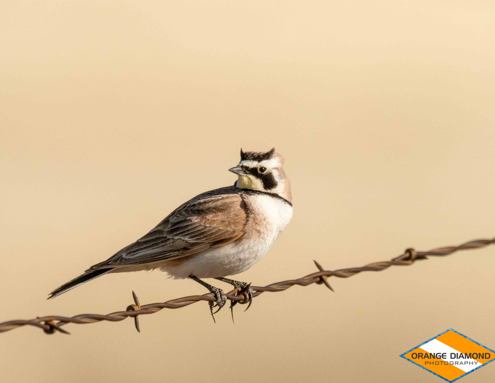 Horned Meadowlark on Barbed Wire