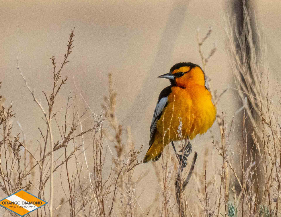 Northern Oriole on the Western Plains