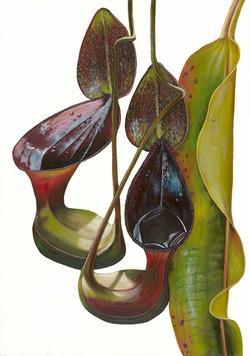 Low's pitcher plant - Dr Chris Thorogood