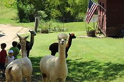 group alpacas.jpg