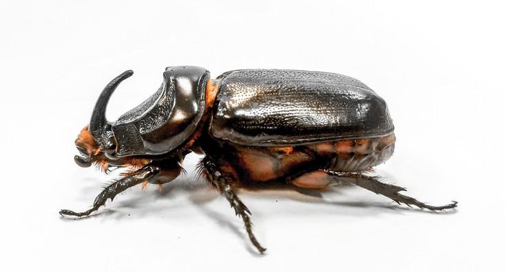 Coconut rhinoceros beetle adult (Oryctes rhinoceros)