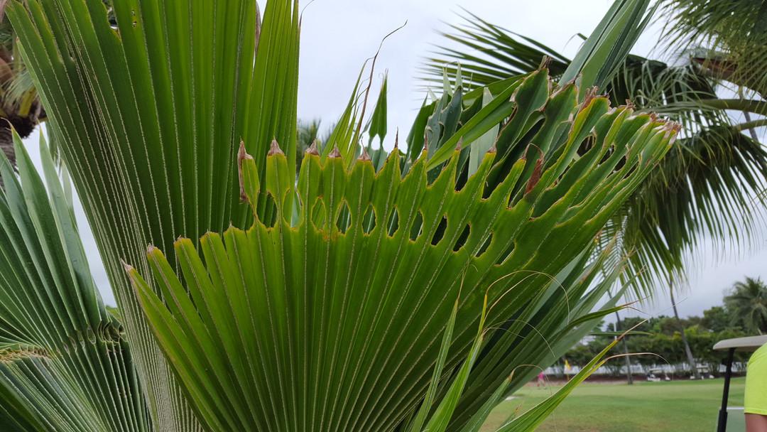 loulu palm CRB Response.jpg