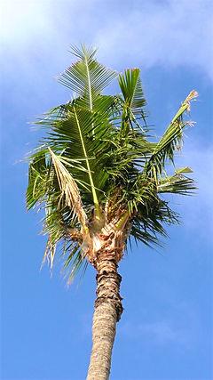 Coconut rhinoceros beetle v-cuts palm.jpg