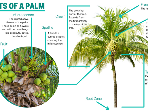 How do CRB Damage Palms?