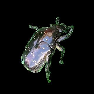 Oriental flower beetle adult.png