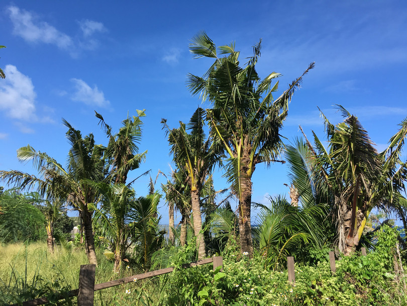 Coconut palms with CRB damage.jpg