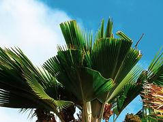 Fan palm damage coconut rhinoceros beetle response.jpg