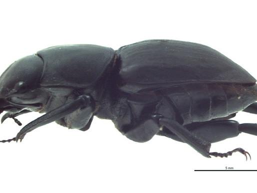 Native Scarab Beetles in Hawaiʻi