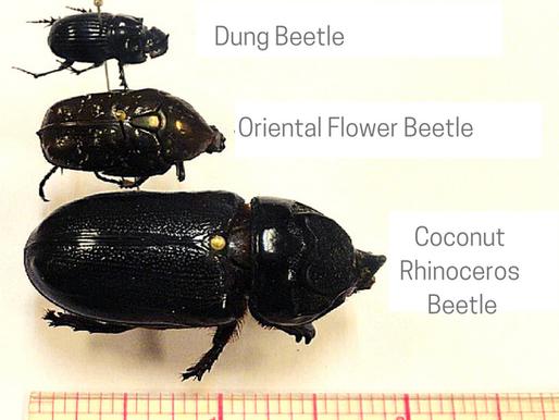 Coconut Rhinoceros Beetle Look-Alikes
