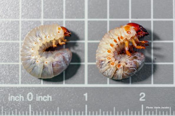 Coconut rhinoceros beetle larval instars.jpg