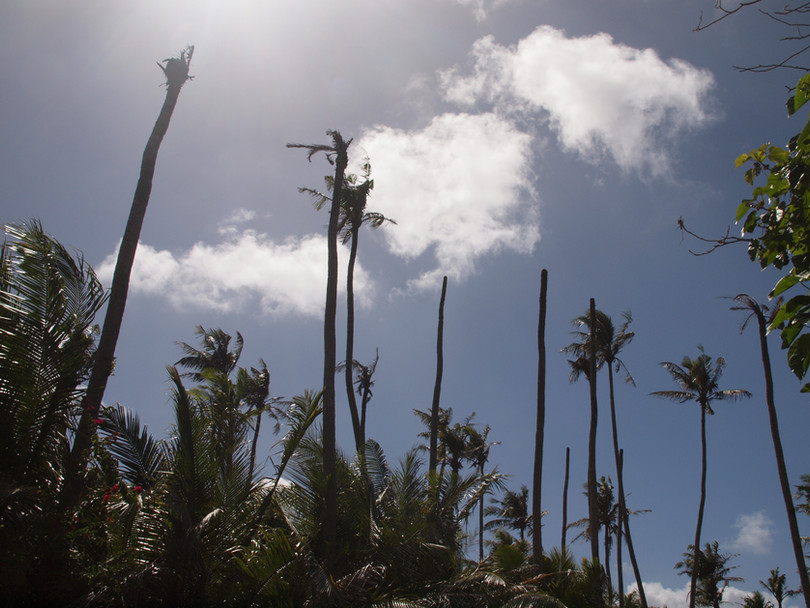 dead coconut trees guam CRB Response.jpg