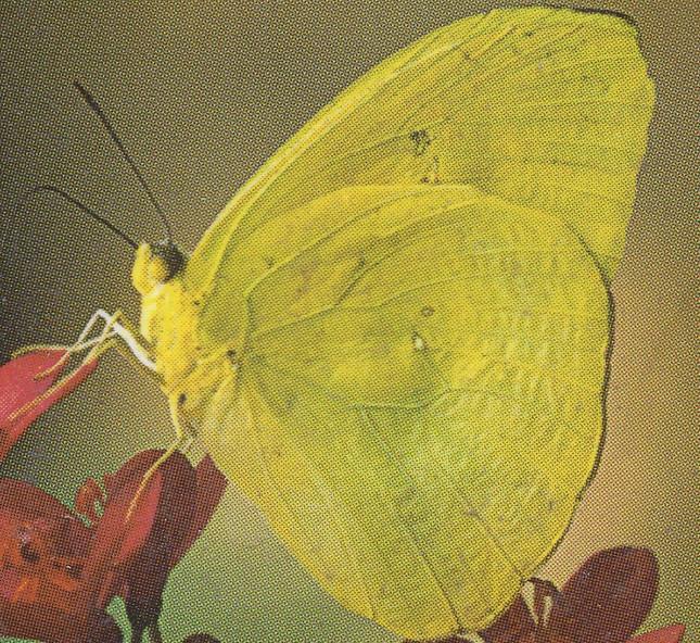 I love yellow butterflies