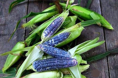 Maïs «Nain Blue Jade»