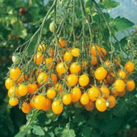 Tomates Mille fleurs