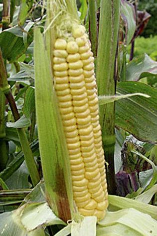 Maïs «Dorinny»