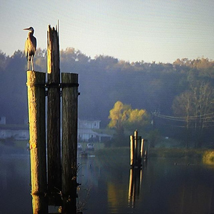 Blue Heron Sunrise