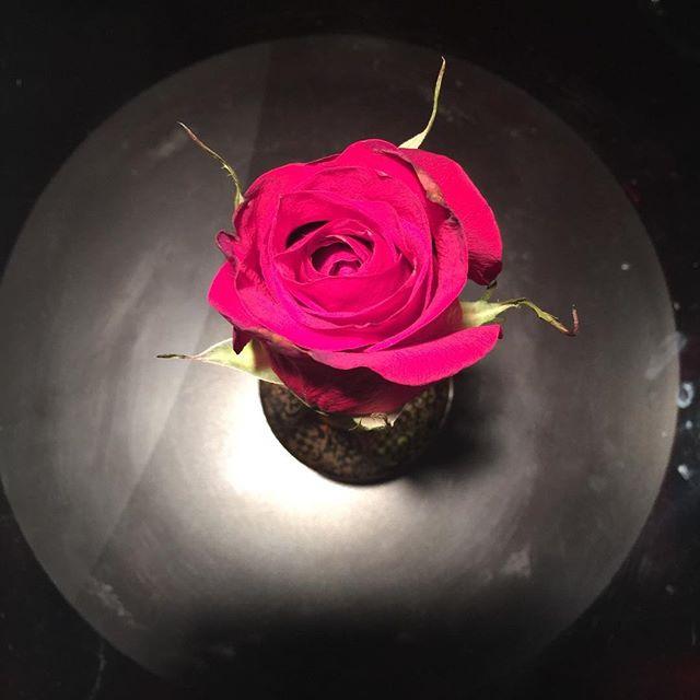 A rose on black