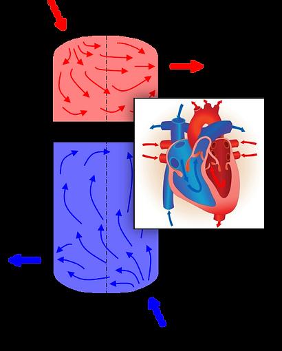 SBT-Human Heart.png