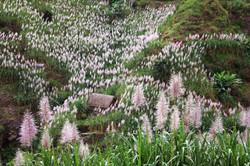 fleurs de cannes à sucre